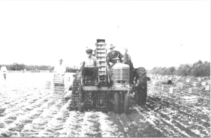 Roy Henry (far left), inventor of the first onion harvester. (No patent)
